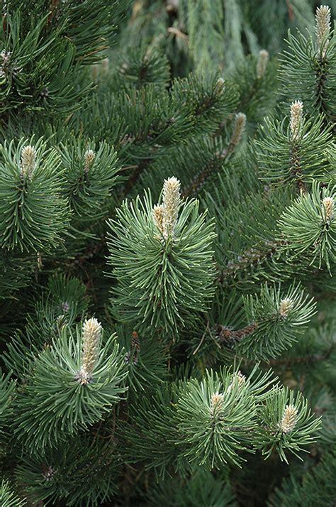 oregon green austrian pine pinus nigra oregon green