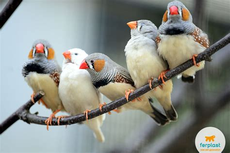 caring for finches species prices and keeping them