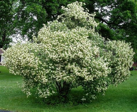 flowering shrubs canada 30 best images about bushes shrubs and plants on