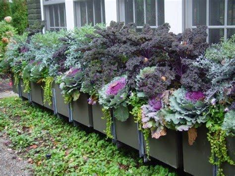 Flowering Kale: The Coolest, Cool Season Ornamental   Here