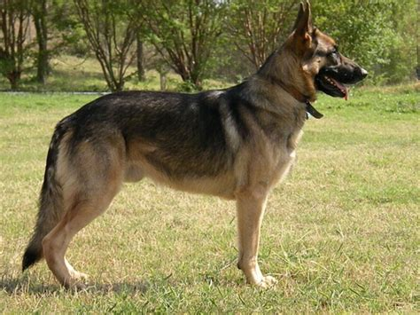 american german shepherd the fossil hill shepherds fossil hill german shepherds