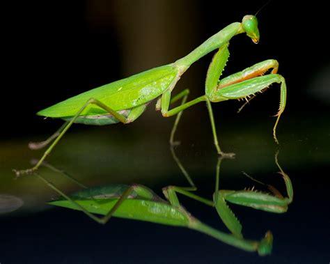 Praying Mantis L by Praying Mantis Dreaming In Digital