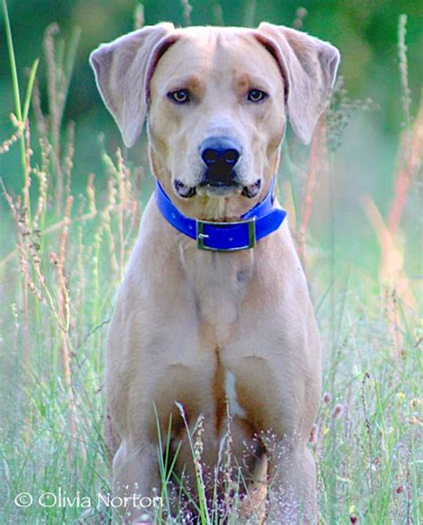 blue lacy puppies blue lacy dobies rotties doxies lacys and gsds animal and
