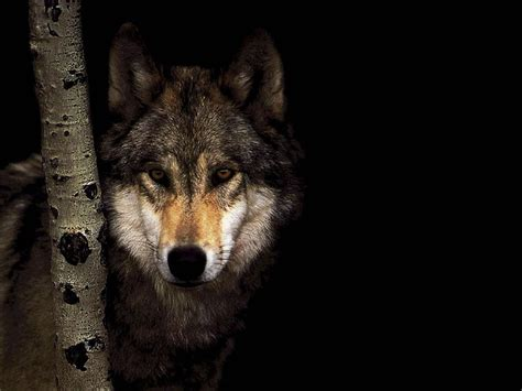 wolf s wolves images wolf hd wallpaper and background photos