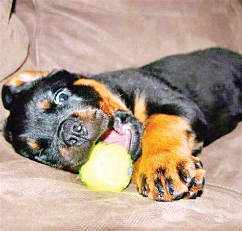 my rottweiler is aggressive why is my rottweiler playful not agressive the new indian express