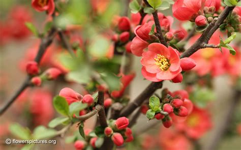 flower quince wallpaper flowering quince wallpapers driverlayer search engine