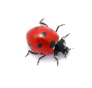 lady bugs...helpful or harmful pests in your garden