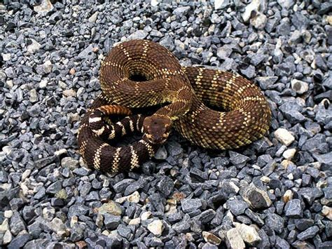 Garden Snake Rattle 7 Ways To Keep Snakes Out Of Your Home And Garden Home
