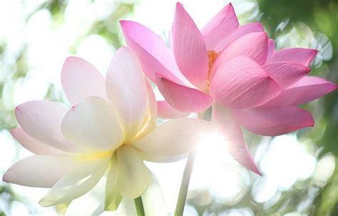 immagini fior di loto immagini tatuaggi fiori di loto tatuaggi immagini