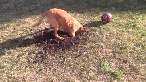 do golden retrievers dig a golden digging up a dogs now dogs now