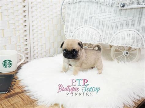 teacup pugs for sale uk the 25 best ideas about teacup pugs for sale on baby pugs for sale pugs