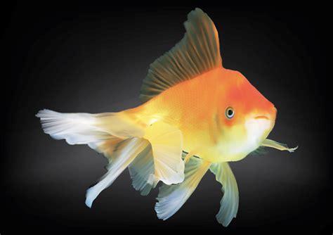 vector goldfish tutorial vector goldfish