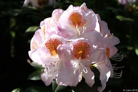 88 F U R L A Chandelier 1621 rhododendron