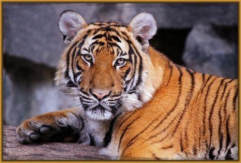 imagenes artisticas de tigres imagenes de tigres con frases de amor archivos imagenes