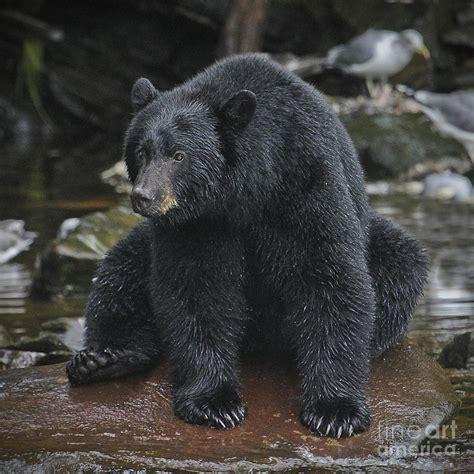 big black bear one big black bear by john rowe