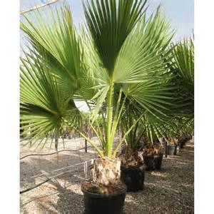 Pots For Succulents For Sale sabal palmetto medipalm viveros