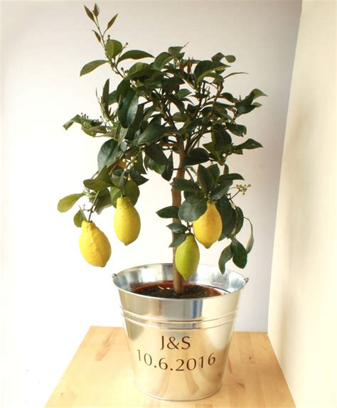 Lemon Tree Gift Card - 3ft lemon tree by plants4presents notonthehighstreet com