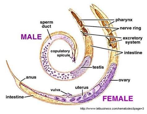 labelled diagram of ascaris ascaris lumbricoides large intestinal roundworm