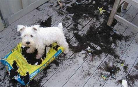caseros traviesos los accidentes que los perros pueden sufrir en casa