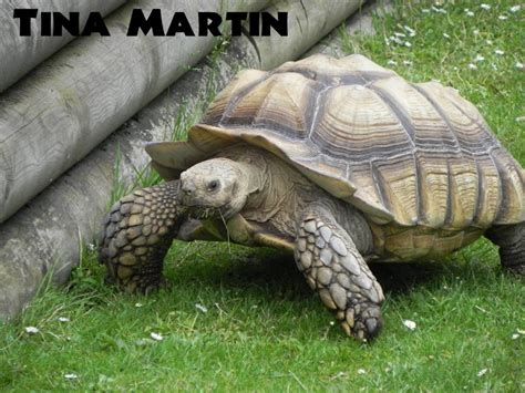 sulcata tortoise bedding african spur thighed tortoise animal experiences at