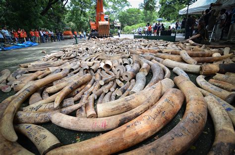 National Geographic Bloody Ivory augureye express is this really who we are