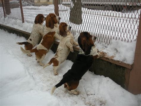 basset hound puppies ky basset hound puppies for sale in ky