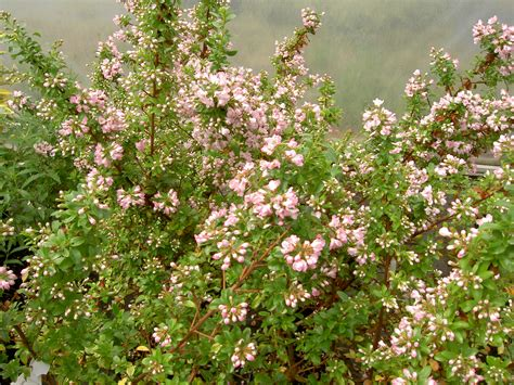 evergreen shrub with pink flowers catalogue page 7