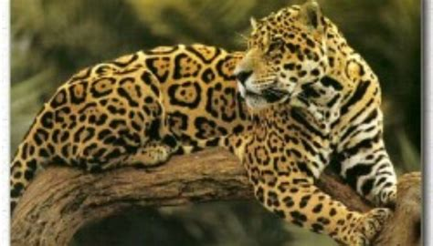 different types of jaguars jaguar facts big cat rescue
