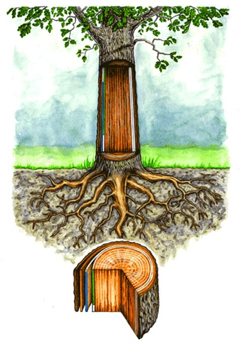 tree trunk sections for sale b l kearley illustrations agency london barry small