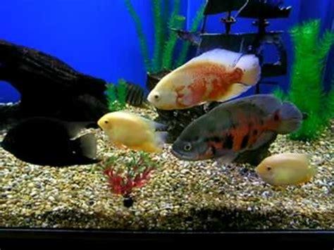 Zebra Bathroom Ideas Blue Tiger Oscar Fish