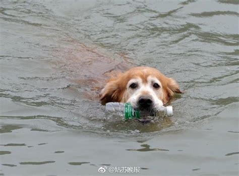 river rock golden retrievers pup is a litter retriever webecoist howldb