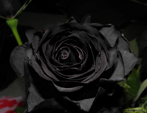 rosas negras rosa negra flickr photo sharing
