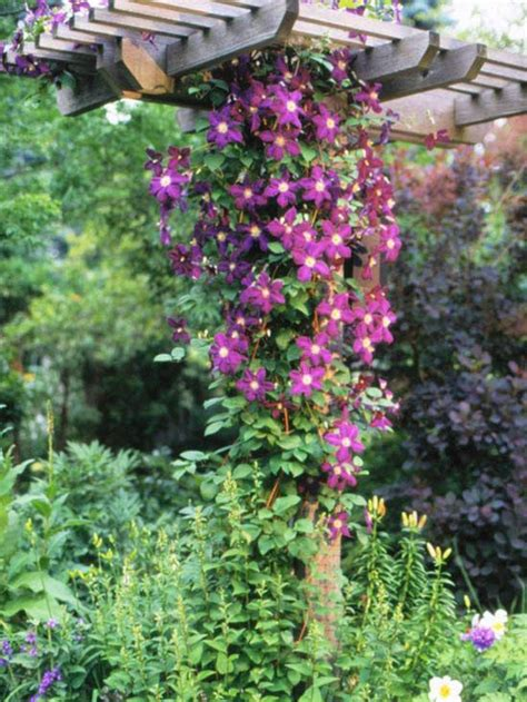 annual climbing plants the best perennial vines for your garden gardens