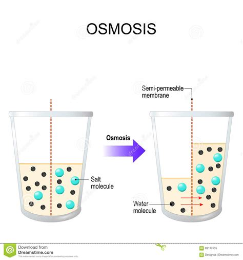 Was Ist Eine Osmose by Osmosis Water Passing Through A Semi Permeable Membrane