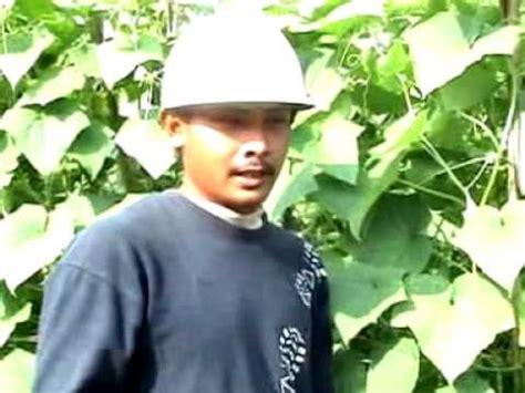 Pupuk Organik Grow More pupuk organik d i grow aplikasi pada tanaman timun di