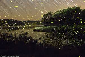 Fire Fly Lights Vincent Brady S Photographs Of Fireflies Lighting Up The