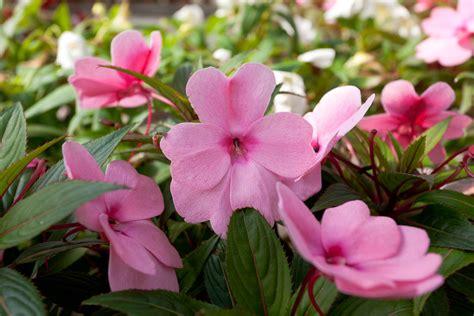 impatiens fiori di bach impatiens il fiore di bach per chi 232 impaziente