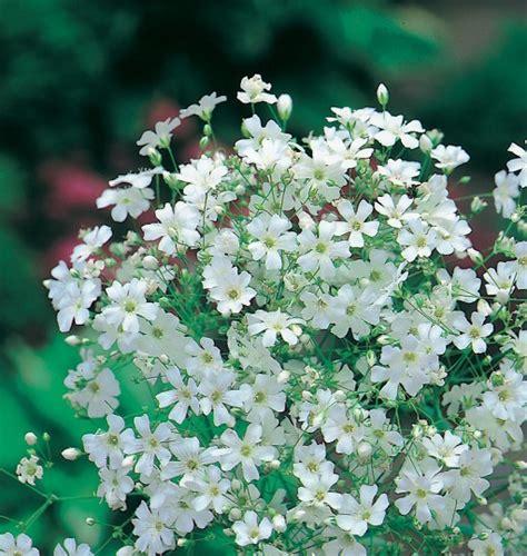 Benih Bunga Gypsophila White Monarch Baby Bearth daftar nama bunga lengkap beserta gambar dan penjelasannya