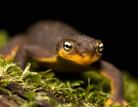 red bellied newts naturetime