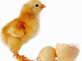 Telur Ayam Jantan Jago gambar jangan belajar ayam betina oleh tebe kompasiana