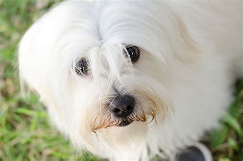 how many puppies can a maltese maltese health issues petcha
