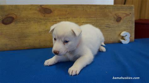 3 week puppy maples puppies 4 weeks this week siberian husky puppies for sale