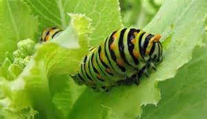 Caterpillar Pests In The Garden - caterpillars 171 four string farm