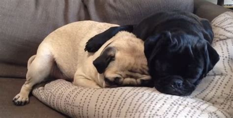 pug brothers when nap time for two adorable pugs is the cutest thing