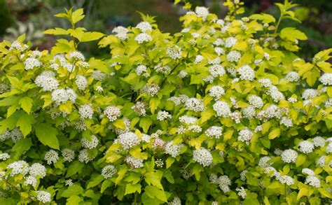 low growing shrubs with flowers landscapes showy shrubs for back boarders