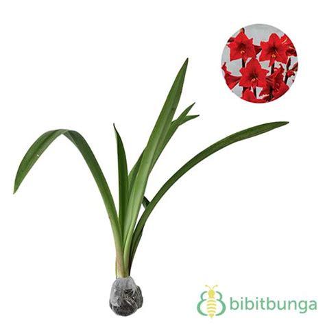 tanaman amarilis merah red amaryllis bibitbungacom