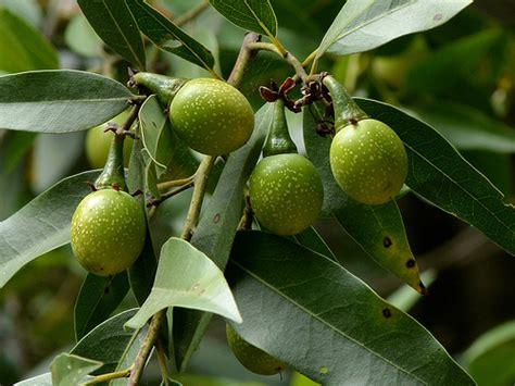 fruit trees bay area ripening fruit of a california bay umbellularia
