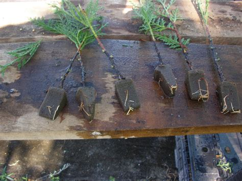buy christmas tree cuttings leyland cypress berry tree farm