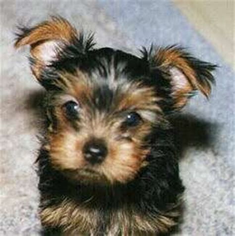 what were yorkies bred to do the adorable terrier the pet product guru