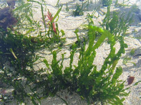 islay natural history trust seaweed garden in a sand pool machir bay